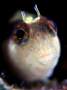 Blenny Closeup in &quot;Bokeh&quot; style by Rico Besserdich 